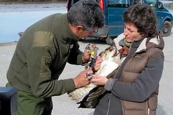 Na marcaxe e medición da águia tamén participou persoal de Medio Ambiente do Principado