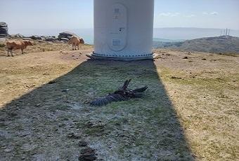Dilixencias Aves Rapaces Mortas por Aeroxeneradores