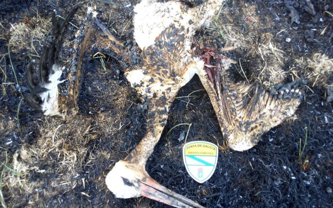 Axentes Medioambientais/Forestais atopan unha cegoña que despois de bater co tendido eléctrico, causa un incendio en terreos agrícolas no municipio de Monforte.