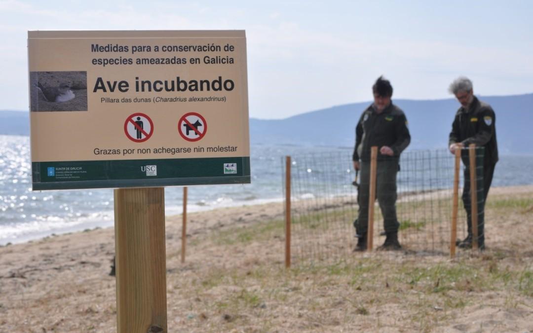 Axentes Medioambientales traballando para protexer a nosa fauna. Neste caso a píllara dás dunas (Charadrius alexandrinus L.) para intentar que a reprodución desta especie «Vulnerable» en Galicia sexa máis exitosa.