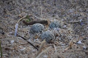 Posta de ovos na area, sen facer niño, tan so unha concavidade na propia area