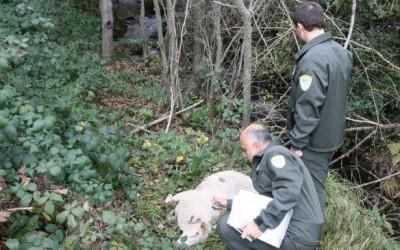 La Xunta detecta presencia de lobos en el 98% del territorio lucense y al menos 38 manadas