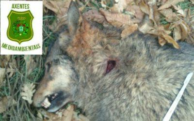 Axentes ambientais investigan a morte a tiros de duas lobas en menos dunha semana
