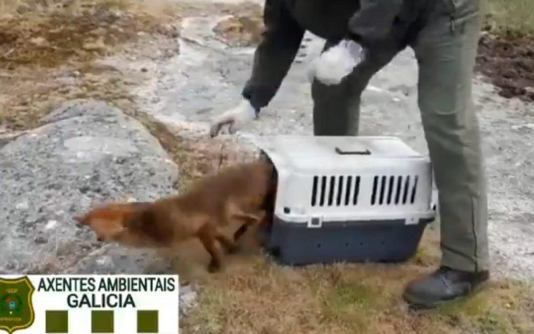 Agentes forestales rescatan a un zorro del aeropuerto coruñés y lo liberan en su hábitat