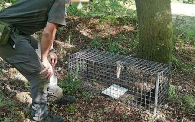 Denunciado un cazador de Forcarei por usar una trampa no selectiva que atrapó un cuervo