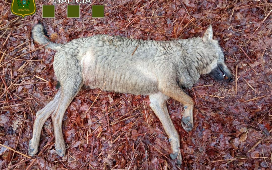 A morte dunha loba na Estrada provocou a apertura dunha investigación dos axentes ambientais para esclarecer o suceso