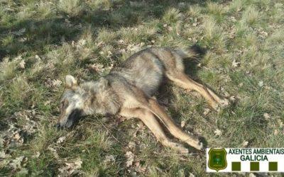 Unha loba aparece morta dun disparo na Gudiña