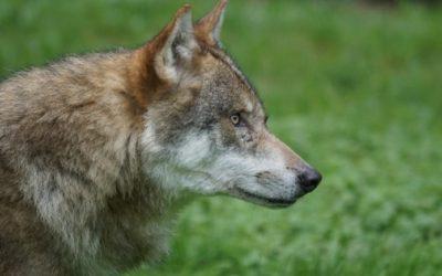 A fenda aberta co lobo: o debate que agocha as outras feridas rurais