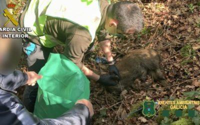 Investigado por colocar trampas e lazos para capturar xabarís en Ponteareas